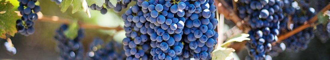 Winogrona – naturalna ochrona organizmu